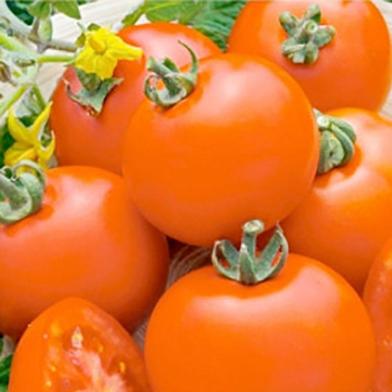 Frö till Tomat - Parto