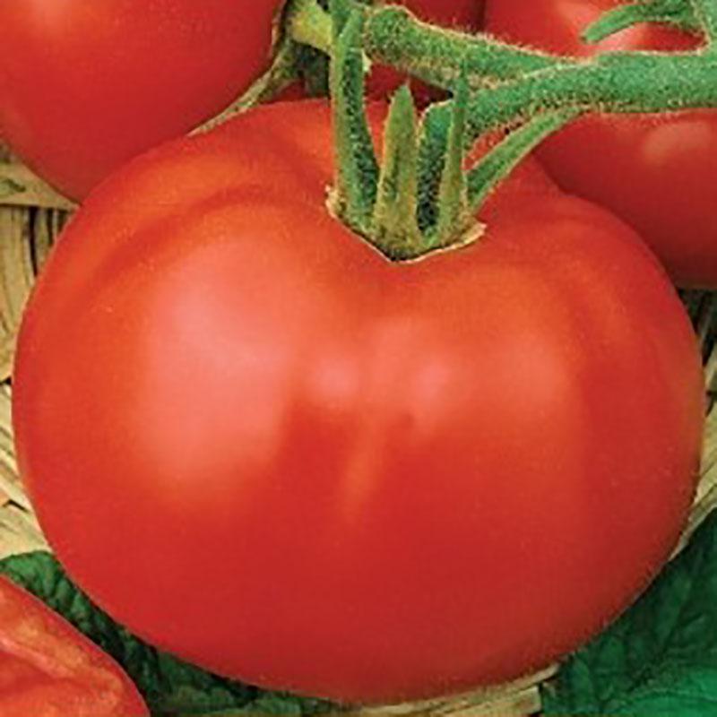 Tomat Uragan-Frö till Tomat -Uragan