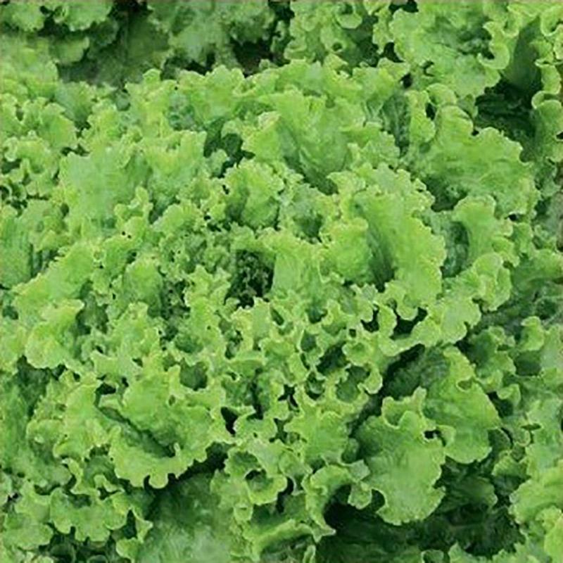Bataviasallad, Caipira-Fröer till bataviasallad lettuce, caipira