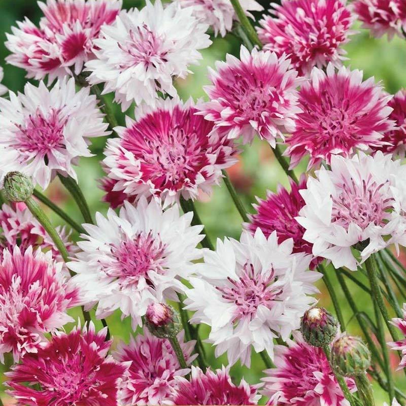 Blåklint, Classic Romantic-Fröer till blåklint crownflower, classic romantic