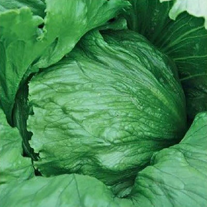Fröer till isbergssallad lettuce, expression