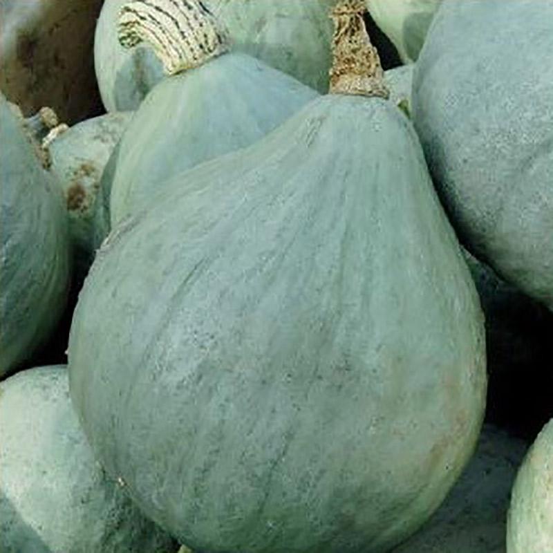 Fröer till jättepumpa pumpkin, blue ballet