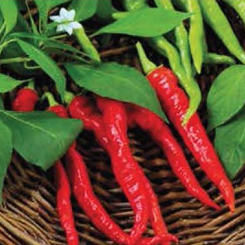 Fröer till paprika sweet pepper, lombardo