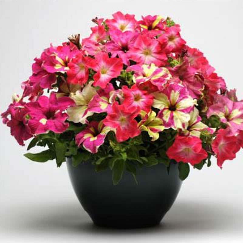 Frö till Petunia Grand - Mix Lime Coral