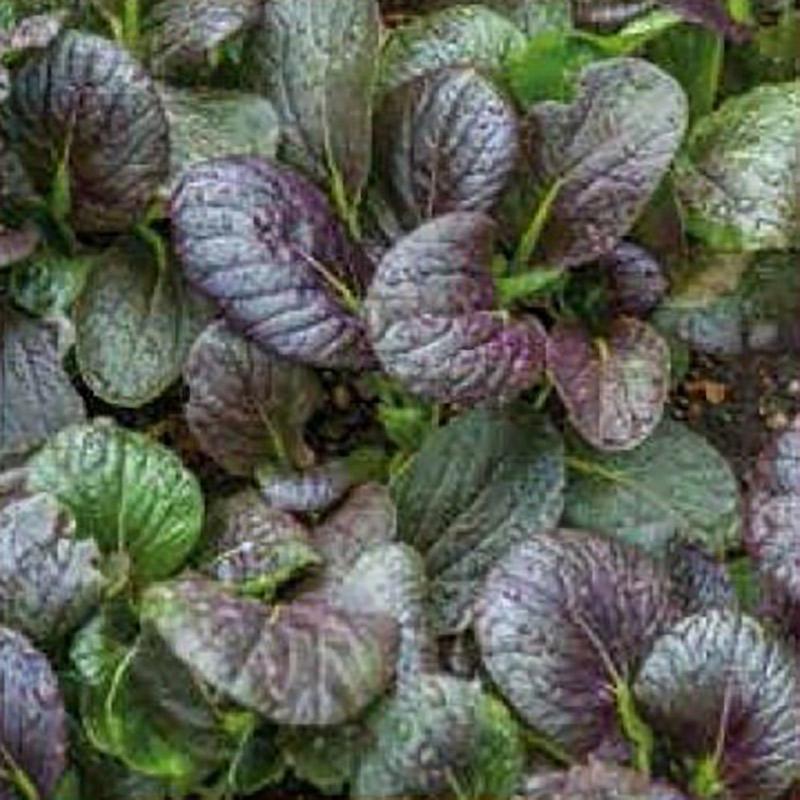 Fröer till sellerikål chinese cabbage, arax