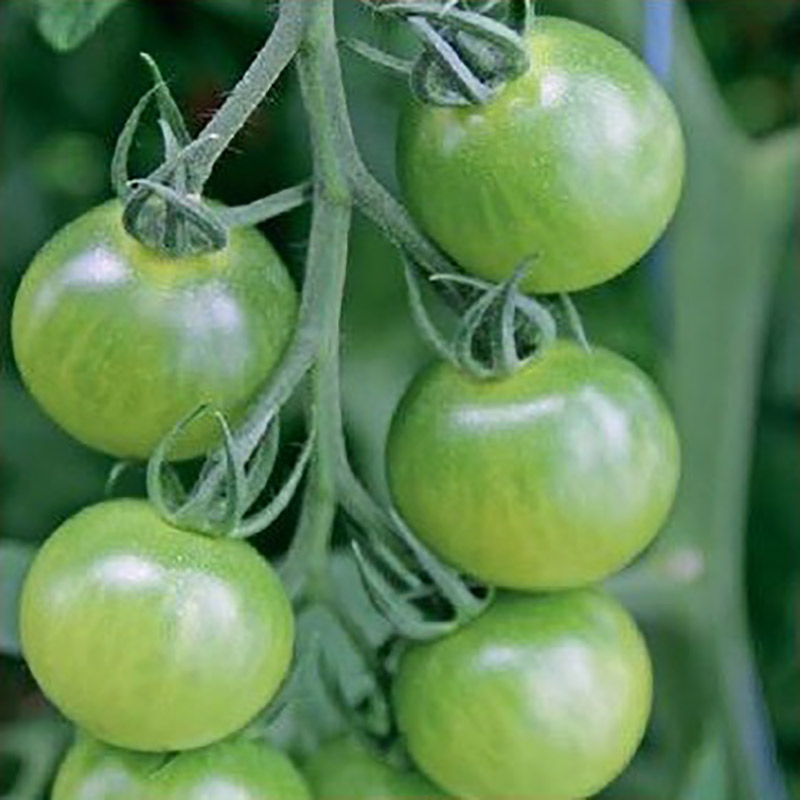 Tomat, Limetto-Fröer till tomat tomato, limetto