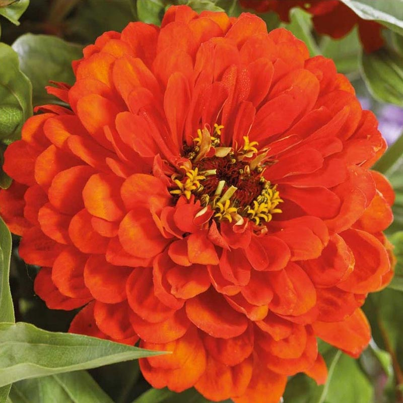 Zinnia, Orange King-Fröer till zinnia zinnia, orange king