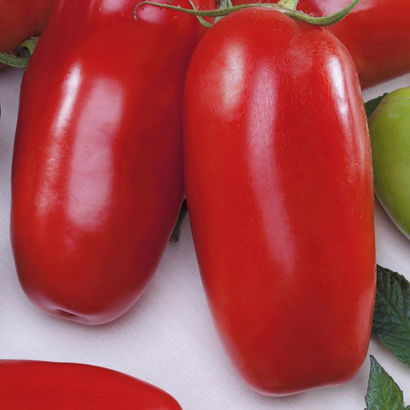 Frö till Tomat - Corsaro