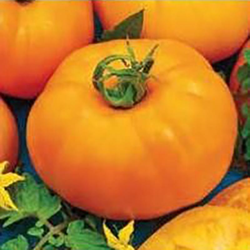 Frö till Tomat - Jantar