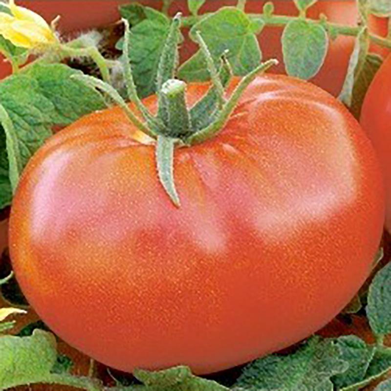 Frö till Tomat - Jasminia