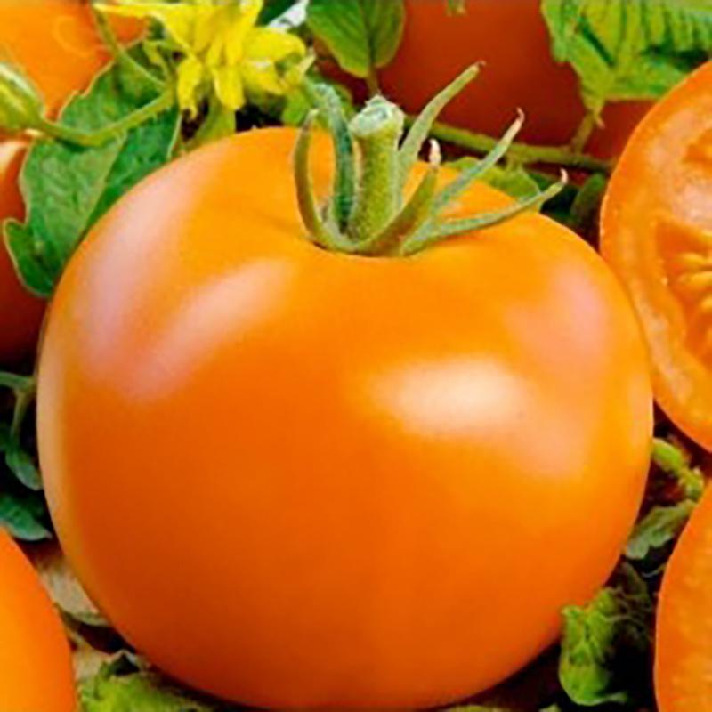 Fröer till Tomat - Polfast