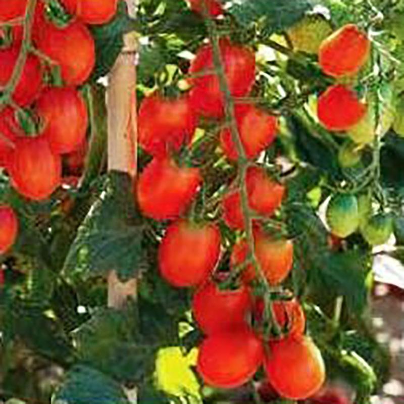 Fröer till Tomat - Santasian