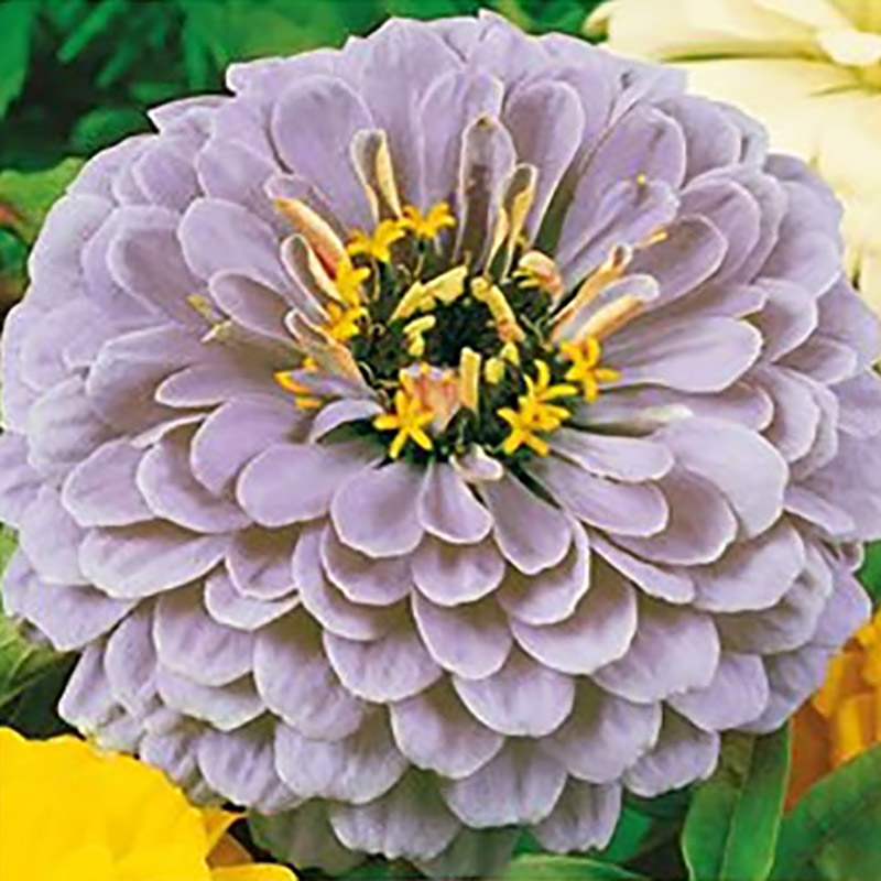Zinnia Dream-Frö till Zinnia Dream
