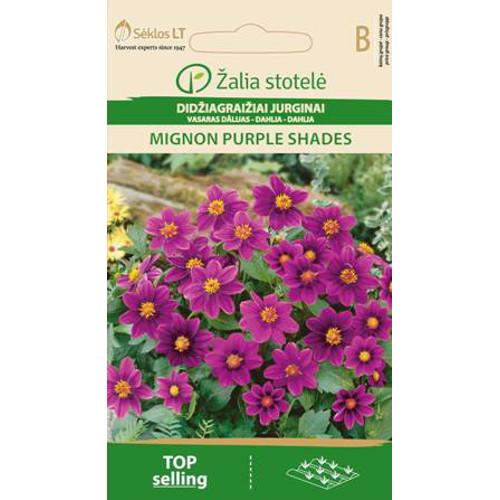 Sommardahlia Mignon, purple shades-Frö till Sommardahlia - Mignon, purple shades