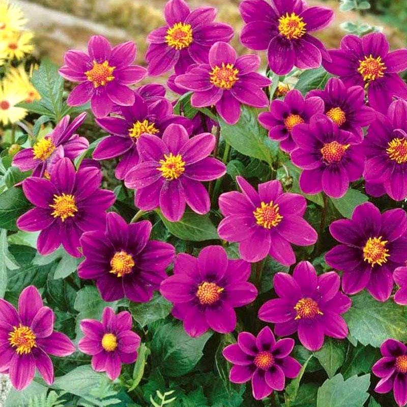 Frö till Sommardahlia - Mignon, purple shades