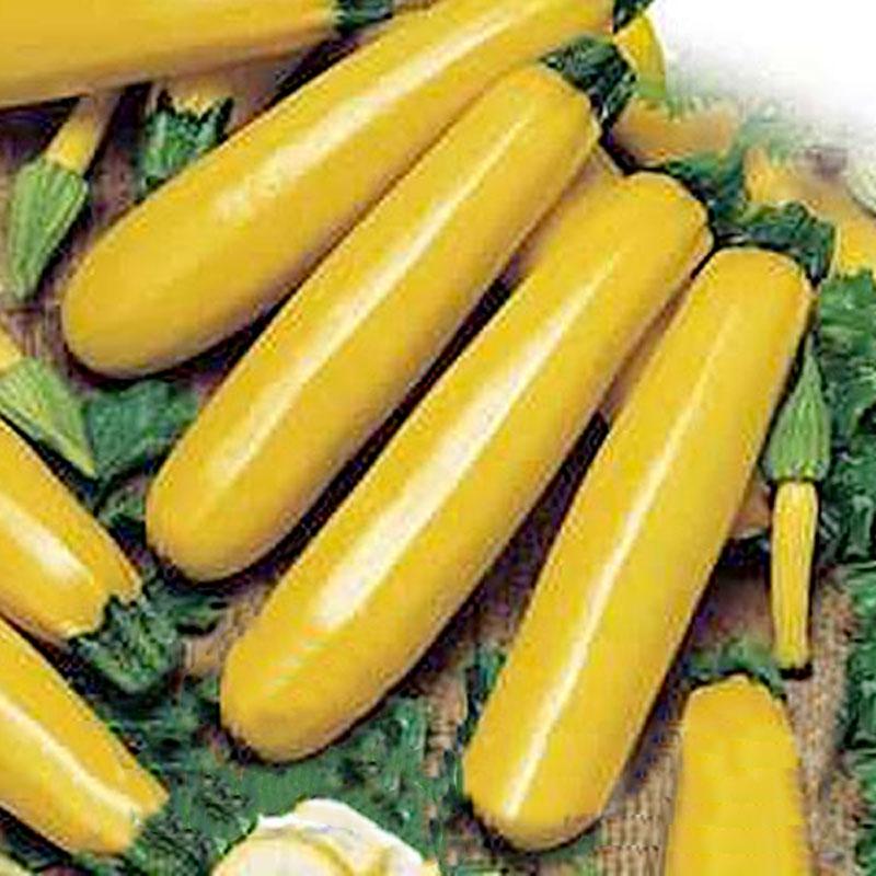 Squash goldena- frö