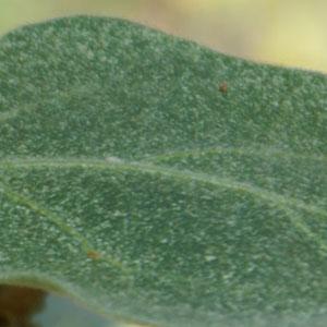Spinnrovkvalster mot spinnkvalster-Rovkvalster mot spinn på växter