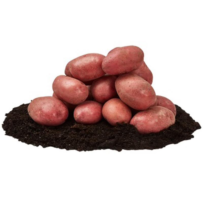 Asterix, sättpotatis-Sättpotatis till rödskalig potatis Asterix