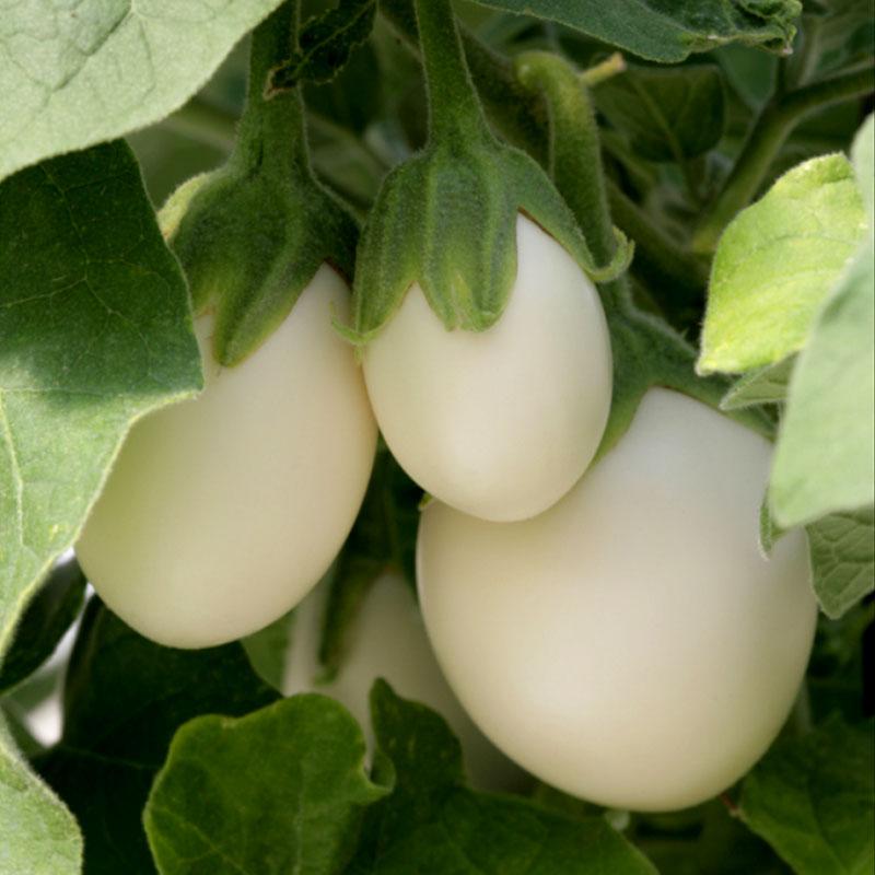 Äggplanta Ivory
