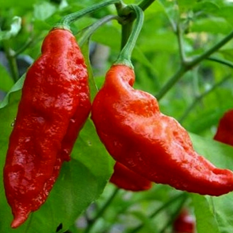 Chili Bhut Jolokia Ghost Pepper