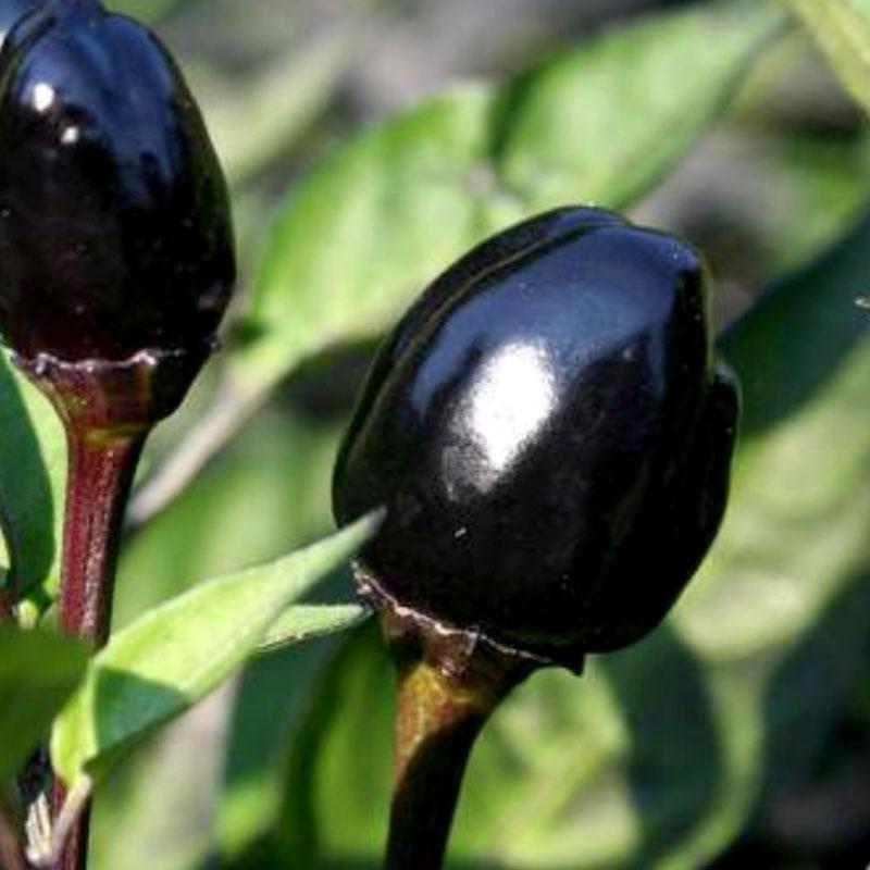 Chili Black Olive