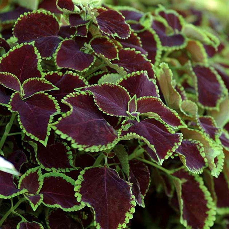 Frö till Palettblad, Solenostemon scutellarioides 'Sun Chocolate Mint'