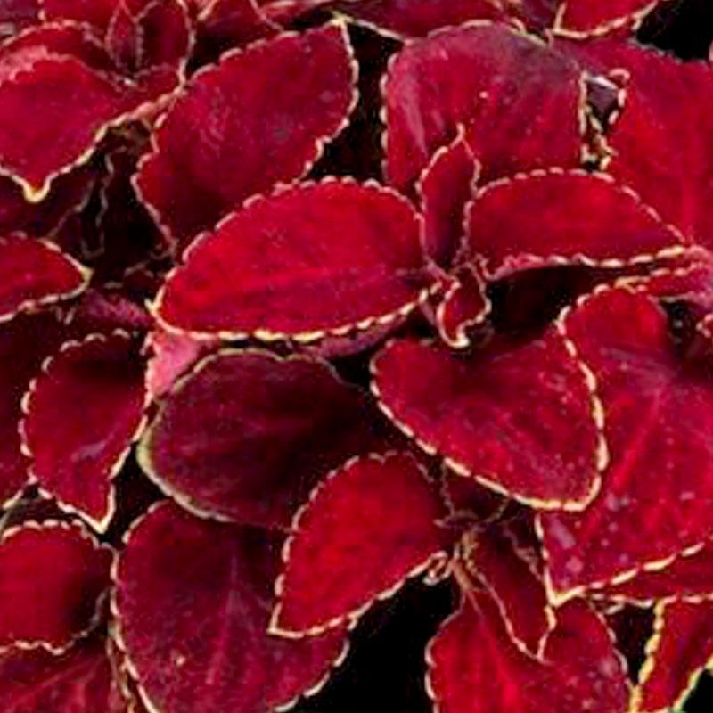 Palettblad Fairway Red Velvet