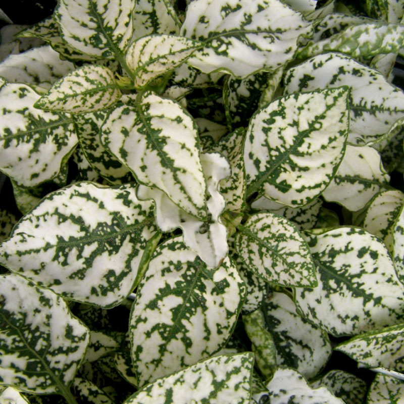 Rosenstänk Splash select white