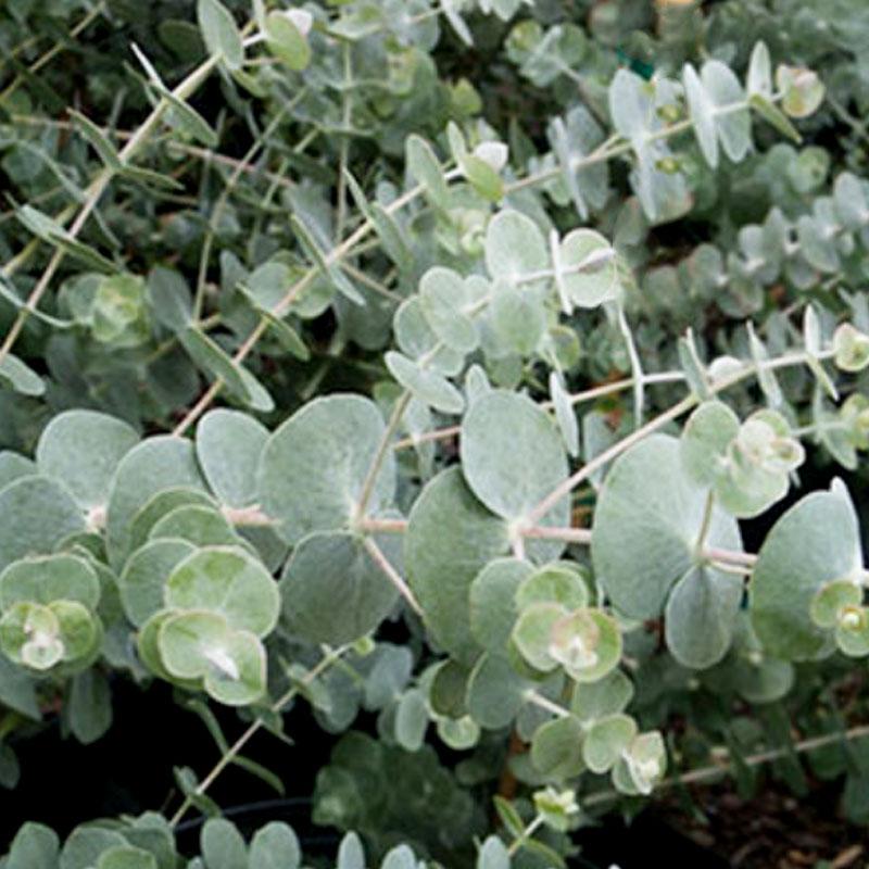 Silvereukalyptus Silverdrop' Eucalyptus gunnii