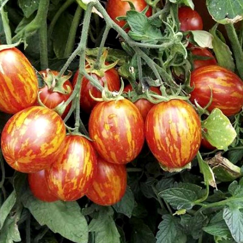 Tomat Firecracker