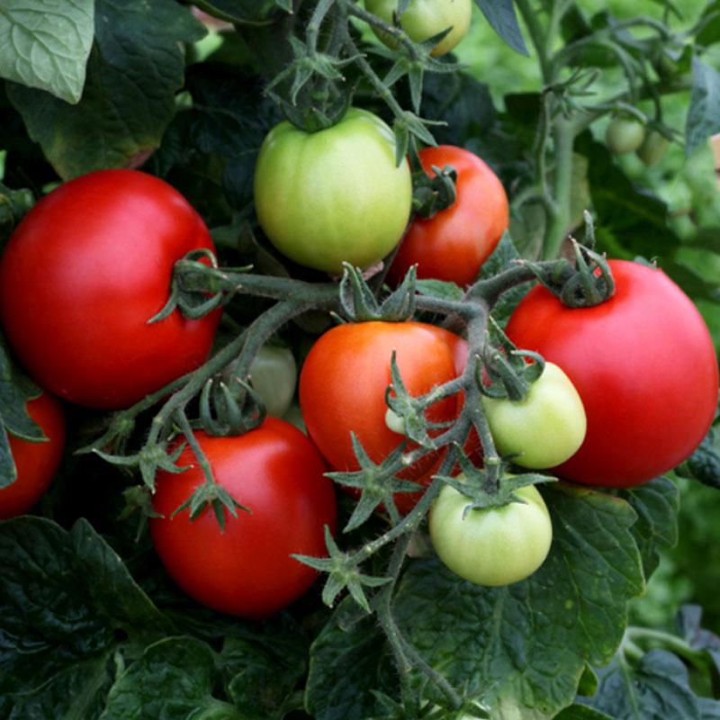 Tomat Mega Bite