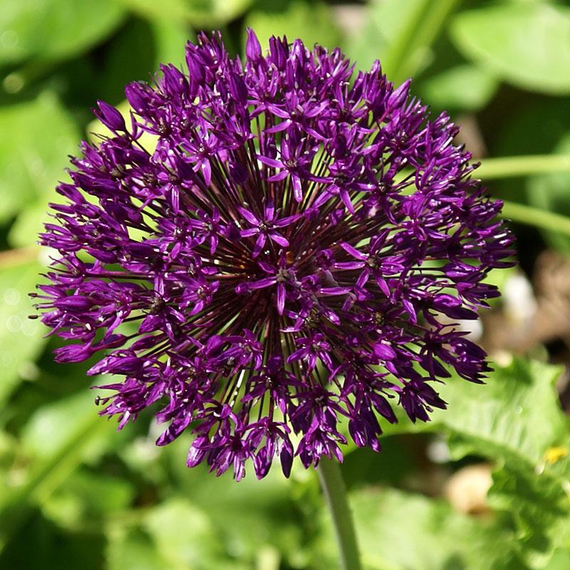 Allium, Aflatunense Purple Sensation-Allium, Aflatunense Purple Sensation