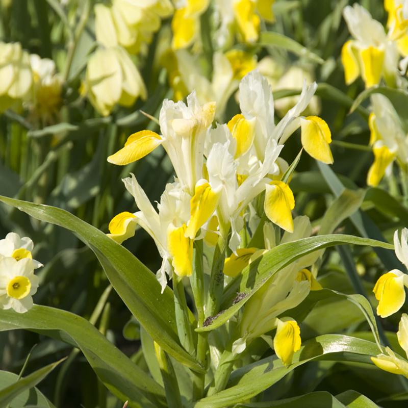 Iris, Bucharica-Iris, Bucharica