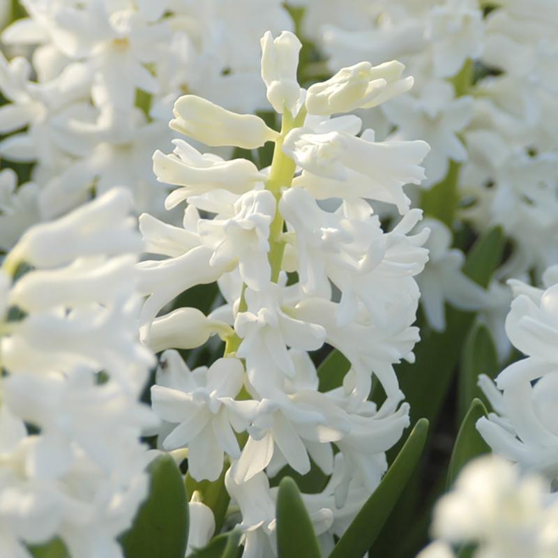 Hyacint, Carnegie-Hyacint, Carnegie
