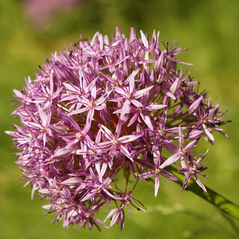 Allium, Christophii-Allium, Christophii