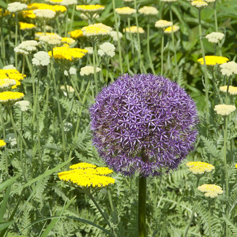 Allium, Giganteum-Allium, Giganteum
