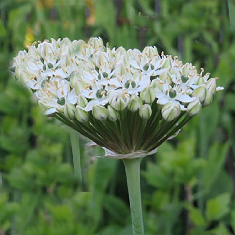 Allium, Nigrum, Lökväxt Allium Nigrum
