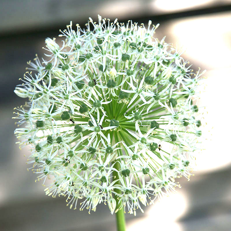 Allium, Mount Everest-Allium, Mount Everest