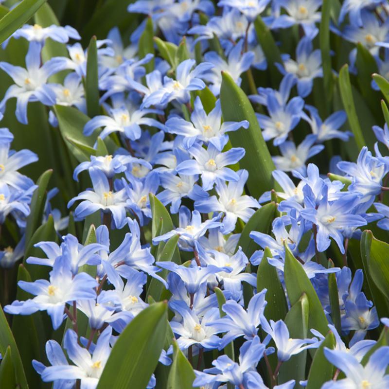 Vårstjärna, Forbesii Blue Giant-Vårstjärna, Forbesii Blue Giant