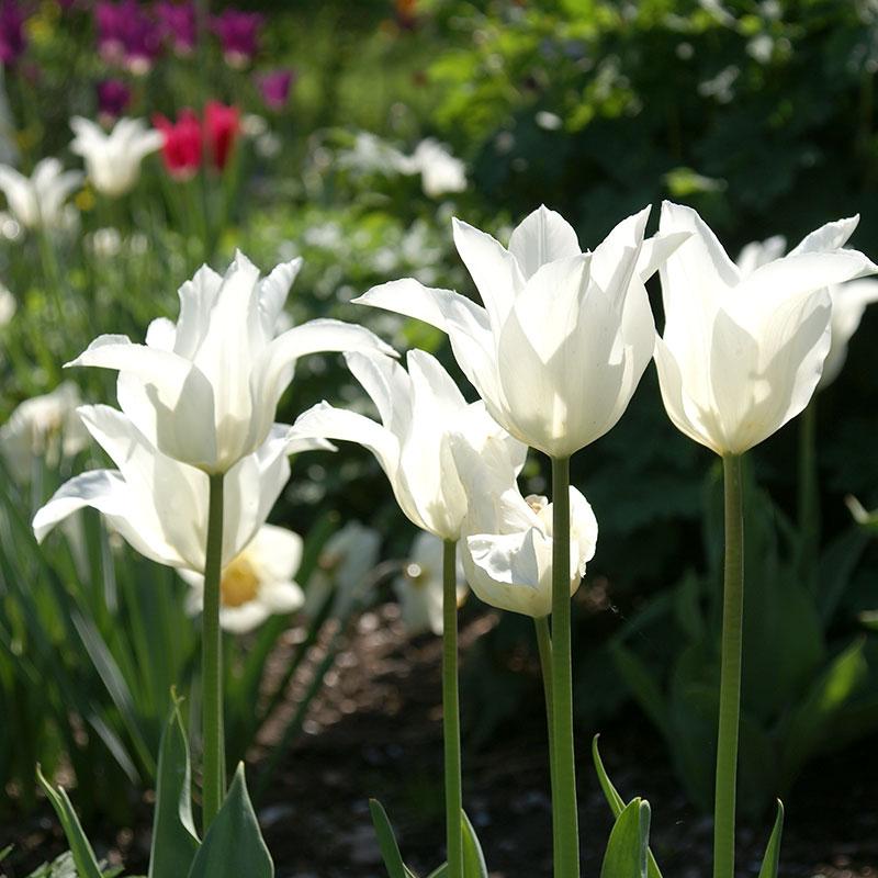 Tulpan, White Triumphator-Tulpan, White Triumphator
