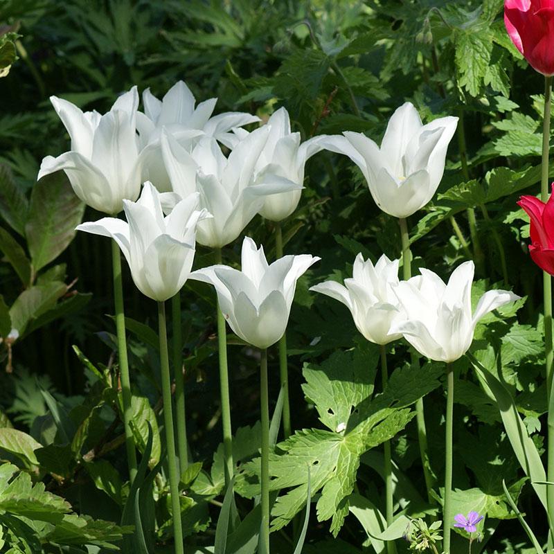 Tulpan, White Triumphator, Lök till liljeblommande tulpan White Triumphator