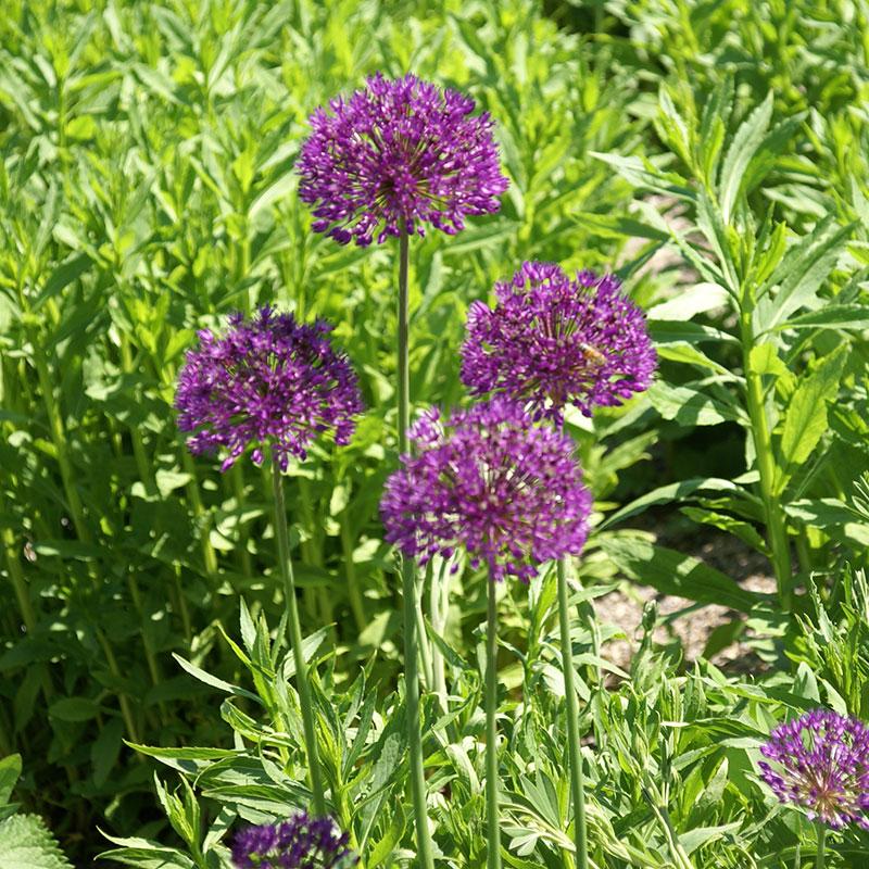 Allium, Aflatunense Purple Sensation, Lökar till allium Aflatunense Purple Sensation