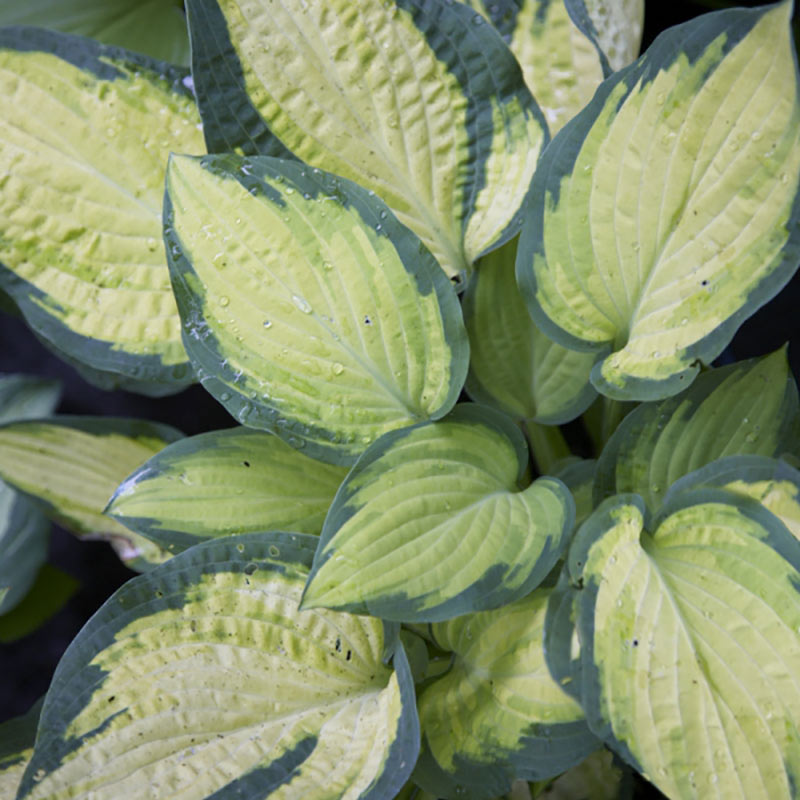 Perenn Funkia Hosta, Orange Marmalade