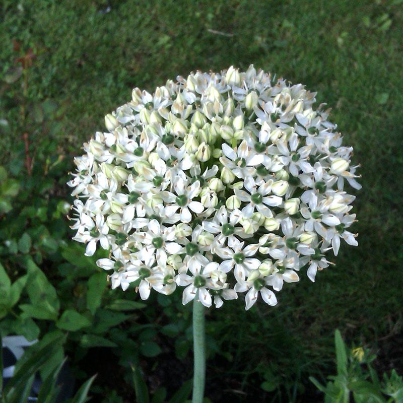Allium, Nigrum-Lök till Allium, Nigrum