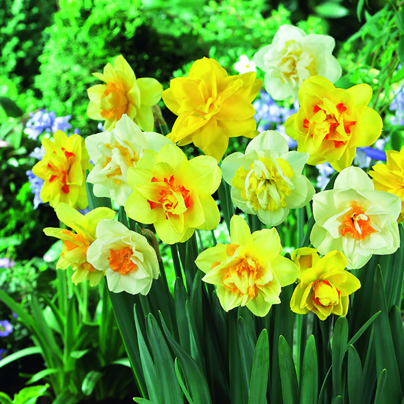 Mix narcisser, Verver Double fountain-Mix narcisser, Verver Double fountain
