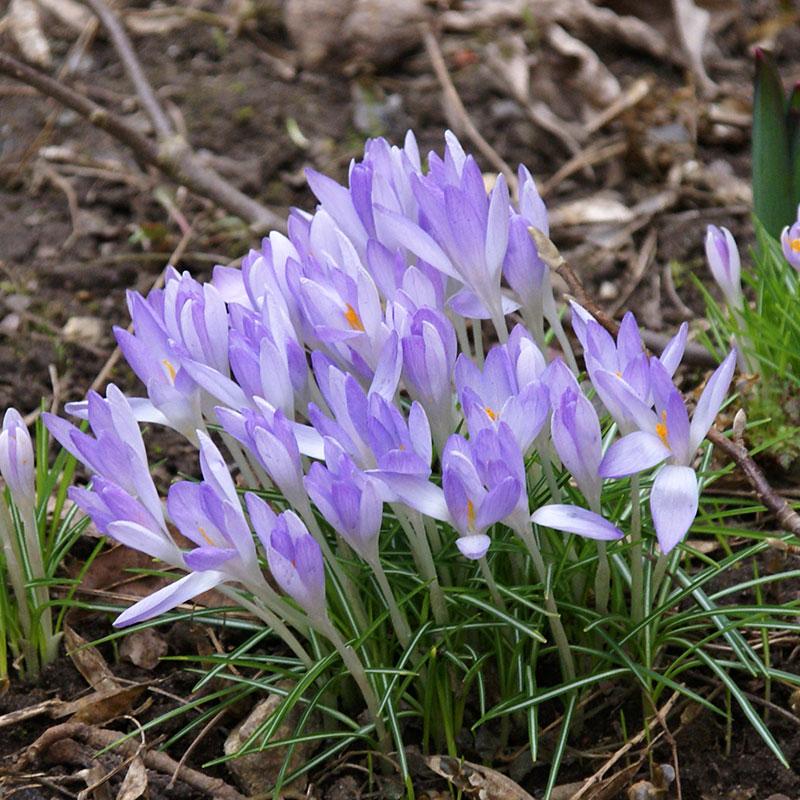 Saffranskrokus, sativus-Saffranskrokus, sativus