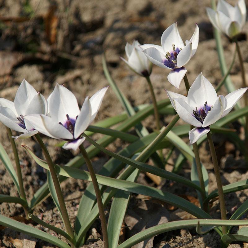 Tulpan, Humilis Aiba Coerulea Oculata-Tulpan, Humilis Aiba Coerulea Oculata