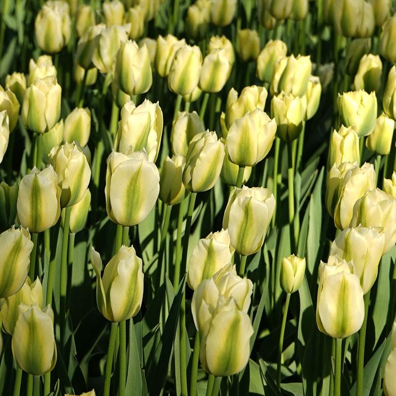 Tulpan, Spring Green, Tulpan, Spring Green
