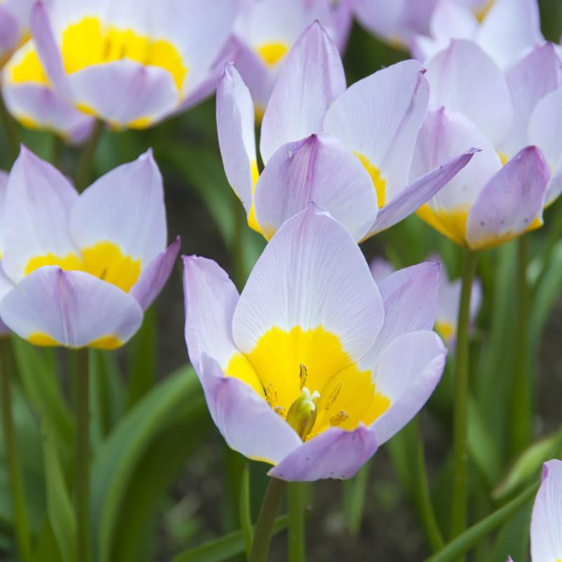 Tulpan , Lilac Wonder, Lila tulpan Lilac wonder