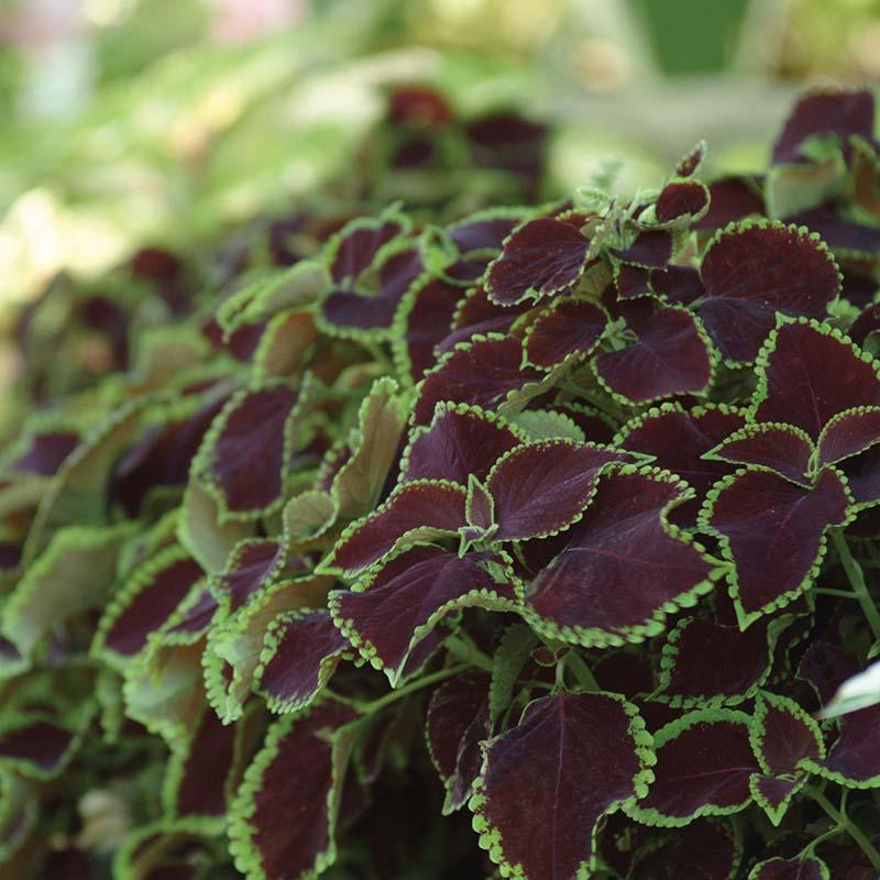 Fröer till krukväxten palettblad chocolate mint